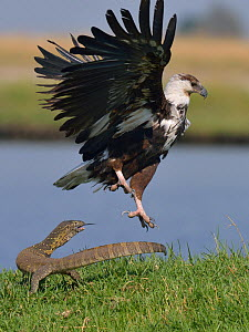 Juvenile African fish eagle (Haliaeetus vocifer) flying away from water monitor lizard, Chobe River, Botswana, November.  -  Lou Coetzer