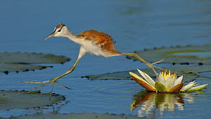 African jacana (Actophilornis africana) chick running between water lily pads, Chobe River, Botswana, April.  -  Lou Coetzer