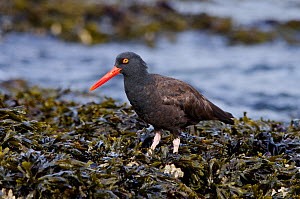 Black oystercatcher (Haematopus bachmani) foraging in a mussel bed on the coastline, Vancouver Island, British Columbia, Canada, August.  -  Bertie Gregory