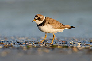 Semipalmated plover (Charadrius semipalmatus) foraging on a beach at sunset, Vancouver Island, British Columbia, Canada, July.  -  Bertie Gregory