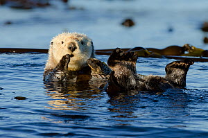 Northern sea otter (Enhydra lutris kenyoni) floating amongst bull kelp, Vancouver Island, British Columbia, Canada, July. - Bertie Gregory