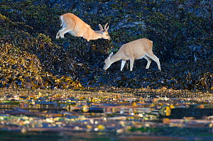 Columbian black-tailed deer (Odocoileus hemionus columbianus), foraging on seaweed at sunset, Vancouver Island, British Columbia, Canada, July. - Bertie Gregory