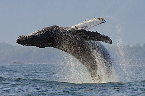 Humpback whale (Megaptera novaeangliae) adult breaching, Vancouver Island, British Columbia, Canada, July.  -  Bertie Gregory