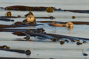 Northern sea otter (Enhydra lutris kenyoni) mother and  pup floating amongst bull kelp at sunset, Vancouver Island, British Columbia, Canada, July.  -  Bertie Gregory