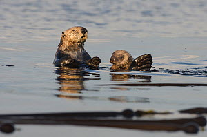 Northern sea otter (Enhydra lutris kenyoni) mother and  pup amongst bull kelp at sunset, Vancouver Island, British Columbia, Canada, July.  -  Bertie Gregory