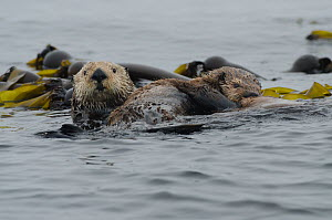 Northern sea otters (Enhydra lutris kenyoni), mother suckling pup amongst bull kelp, Vancouver Island, British Columbia, Canada, July.  -  Bertie Gregory