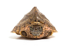 Razorback musk turtle (Sternotherus carinatus) juvenile, withdrawn into shell, captive from United States.  -  Chris  Mattison