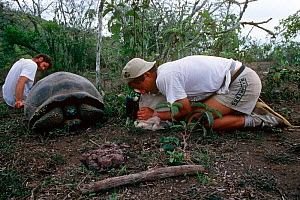 Cameraman and photographer Michael Pitts filming a Giant tortoise on the crater rim of the Alcedo Volcano,  Isabela Island. Galapagos. - Michael Pitts