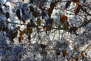 Frost on Old Man's Beard seedheads (Clematis vitalba)  in winter, Vosges, France  -  Fabrice  Cahez