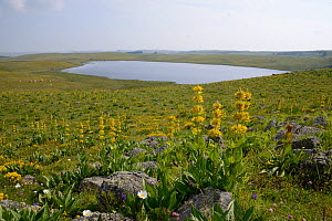 Lac de Saint-Andeol with Great yellow gentian (Gentiana lutea)  Aubrac, Auvergne, France, July 2013  -  Fabrice  Cahez
