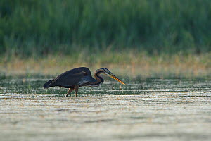 Purple Heron (Ardea purpurea) with eel prey, Aude, France, July.  -  Fabrice  Cahez
