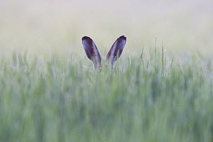 Brown Hare (Lepus europaeus) hidden in grass with only ears visible, Vosges, France, July. - Fabrice  Cahez