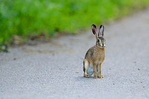 Brown Hare (Lepus europaeus) on track, Vosges, France, July. - Fabrice  Cahez