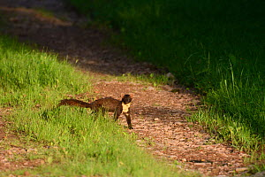 Pine marten (Martes martes) crossing country track, Vosges, France, June. - Fabrice  Cahez