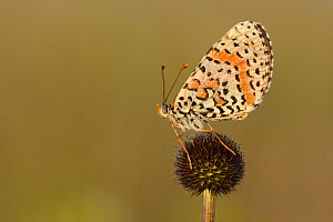 Spotted Fritillary butterfly (Melitaea didyma) on flower, Lozere, France, July.  -  Fabrice  Cahez