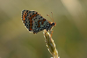 Spotted Fritillary butterfly (Melitaea didyma) on grass head, Lozere, France, July.  -  Fabrice  Cahez