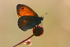 Small heath butterfly (Coenonympha pamphilus) on flower, Aubrac, France, July. - Fabrice  Cahez