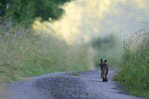Red fox (Vulpes vulpes) walking down country lane, Vosges, France, July. - Fabrice  Cahez