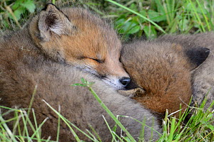 Red fox (Vulpes vulpes) cubs resting in grass, Vosges, France, May. - Fabrice  Cahez