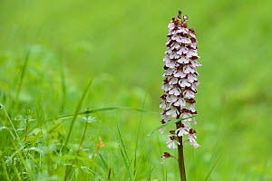 Lady orchid (Orchis purpurea) flower, Vosges, France, May. - Fabrice  Cahez