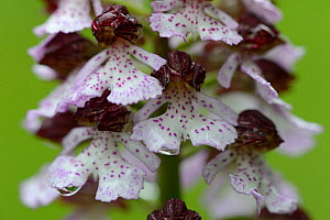 Lady orchid (Orchis purpurea) close up of flower, Vosges, France, May. - Fabrice  Cahez