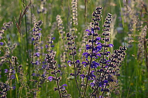 Meadow clary (Salvia pratensis) flowers, Vosges, May.  -  Fabrice  Cahez