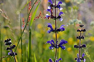 Meadow clary (Salvia pratensis) flowers, Vosges, France,May.  -  Fabrice  Cahez
