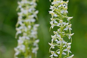 Lesser butterfly orchid (Platanthera bifolia) Vosges, France, June - Fabrice  Cahez