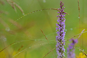 Fragrant orchid (Gymnadenia conopsea) Vosges, France, July.  -  Fabrice  Cahez