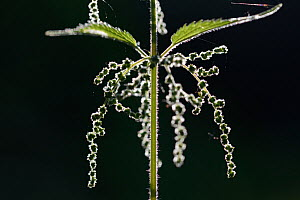 Stinging nettle (Urtica dioica) close up of flowers against background, Vosges, France, July. - Fabrice  Cahez