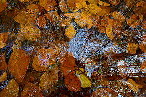 Reflections of trees in puddle of water filled with autumn leaves, Vosges, France, November 2013.  -  Fabrice  Cahez