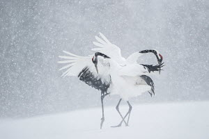 Japanese crane (Grus japonicus) pair in courtship display during snow fall, Hokkaido, Japan, February.  -  Vincent Munier