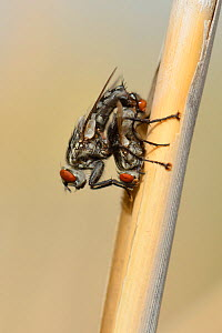 African flesh flies (Sarcophaga africa) mating on a reed stem, Crete, Greece, May. - Nick Upton