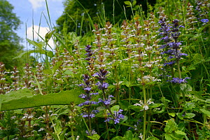 Bugle (Ajuga reptans) white and blue form flowering in a dense stand on a woodland edge, Wiltshire, UK, June.  -  Nick Upton