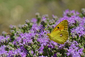 Clouded yellow butterfly (Colias croceus) feeding on Headed thyme / Wild thyme flowers (Thymus capitatus), Crete, Greece, May. - Nick Upton