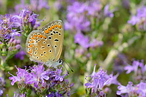 Female Common blue butterfly (Polyommatus icarus) nectaring on Headed thyme / Wild thyme flowers (Thymus capitatus), Vai, Crete, Greece, May.  -  Nick Upton