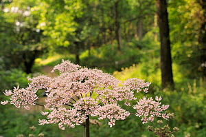 Common Hogweed (Heracleum sphondylium) umbel flowerhead in a woodland clearing, Gloucestershire, UK, July. - Nick Upton