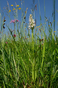 Common spotted orchid (Dactylorhiza fuchsii), pale form, flowering alongside Ragged robin (Silene flos-cuculi) Common buttercups (Ranunculus acris) and Red clover (Trifolium pratense) in a traditional... - Nick Upton