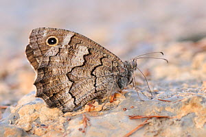 Freyer's Grayling (Hipparchia fatua) drinking dew from a concrete path in the morning, Kilada, Peloponnese, Greece, August.  -  Nick Upton