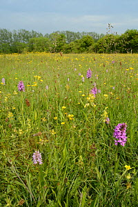 Southern marsh orchids (Dactylorhiza praeternissa), Common spotted orchids (Dactylorhiza fuchsii), Yellow rattle (Rhinanthus minor) and Buttercups (Ranuncuus acris) flowering in a traditional hay mead...  -  Nick Upton