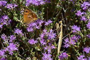 Praying mantis nymph (Mantis religiosa) hunting a Cretan small heath butterfly (Coenonympha thyrsis) as it feeds on Headed thyme / Wild thyme flowers (Thymus capitatus), Crete, Greece, May.  -  Nick Upton
