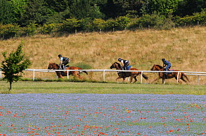 Three racehorses in training, racing along gallops past fields of flowering Linseed (Linum usitatissimum), Marlborough Downs, Wiltshire, UK, July.  -  Nick Upton