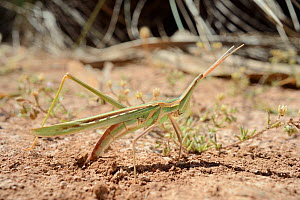 Long-nosed Grasshopper (Truxalis nasuta) excavating soil with her ovipositor before laying eggs in dried out marsh, Crete, Greece, May.  -  Nick Upton