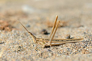 Long-nosed Grasshopper (Truxalis nasuta) well camouflaged on sand near the coast, Crete, Greece, May.  -  Nick Upton