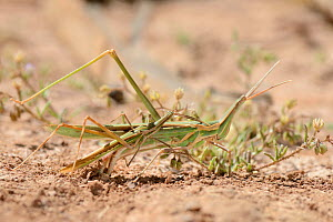 Long-nosed Grasshopper (Truxalis nasuta) attempting to mate with much larger female as she lays eggs in dried out marsh, Crete, Greece, May.  -  Nick Upton