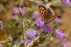 Small copper butterfly (Lycaena phlaeas) nectaring on Headed thyme / Wild thyme flowers (Thymus capitatus), Vai, Crete, Greece, May.  -  Nick Upton