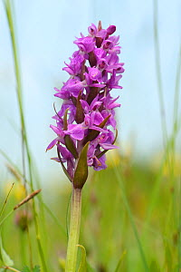 Southern marsh orchid (Dactylorhiza praeternissa) flowering in a traditional hay meadow, Wiltshire, UK, June.  -  Nick Upton