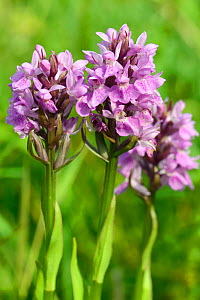 Southern marsh orchid (Dactylorhiza praeternissa) group flowering in a traditional hay meadow, Wiltshire, UK, June.  -  Nick Upton