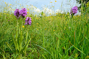 Southern marsh orchids (Dactylorhiza praeternissa) flowering in a traditional hay meadow, Wiltshire, UK, June.  -  Nick Upton