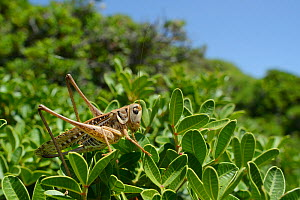 Female White-faced wartbiter bush cricket, (Decticus albifrons), in a bush, Crete, May.  -  Nick Upton
